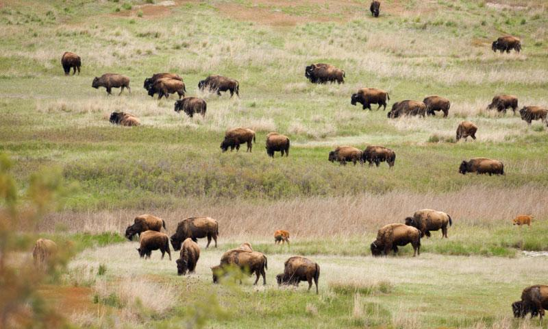 Bison roaming the National Bison Range