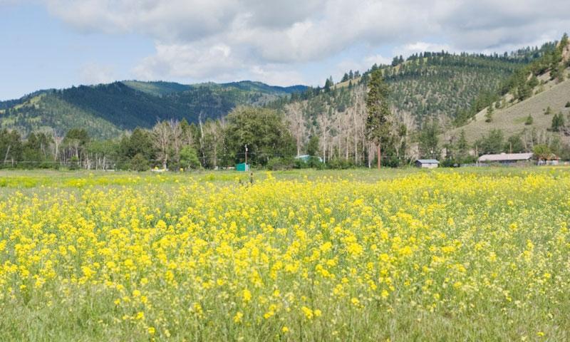 Lolo Pass Montana Wildflowers